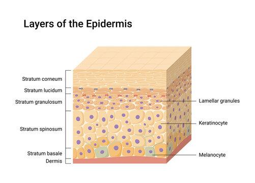 Vector illustration of Epidermis layers. Skin anatomy. Medical diagram