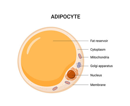 Vector structure of white fat cell. Illustration of adipose.