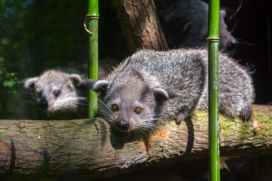 Binturong or bearcat baby on a tree branch