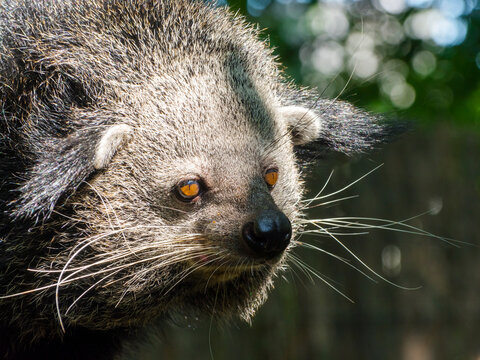 Portrait of an Asian binturong or bearcat