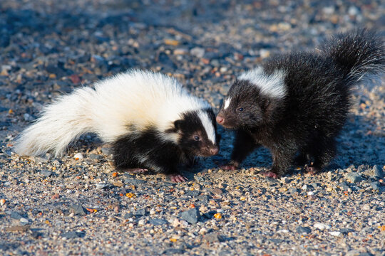Baby Skunks Playing