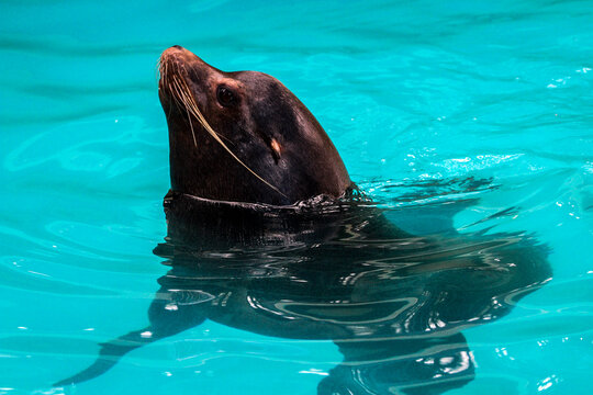 sea lion swimming in the water