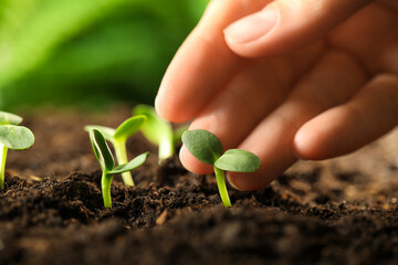 Obraz Woman examine young green seedling in soil outdoors, closeup - fototapety do salonu