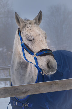 selective focus, portrait of a white horse sleeping in an open-air stall in a blue harness and cape, winter.