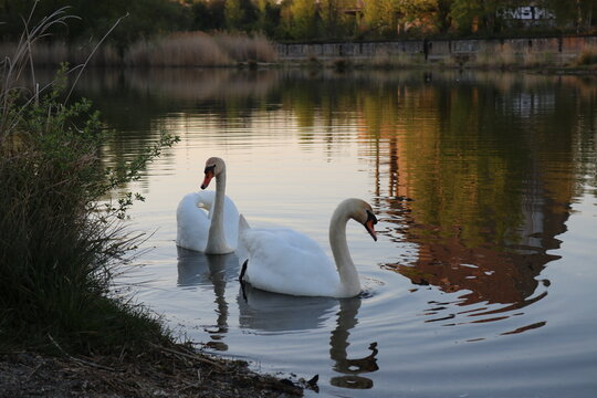 Swans Swimming In Lake