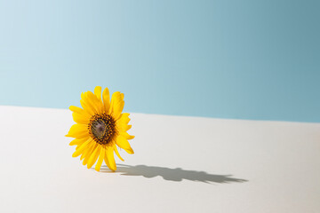 Yellow daisy flower against pastel blue and beige background. Sunny day shadow. Minimal spring concept.