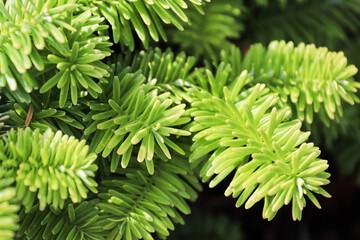 Obraz Closeup of the needles on a dwarf balsam fir - fototapety do salonu