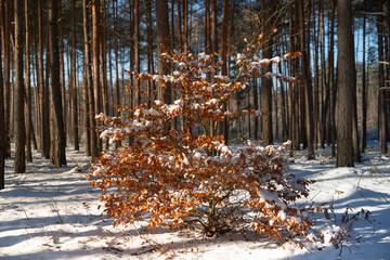 Zima w lesie, młody Buk pokryty śniegiem