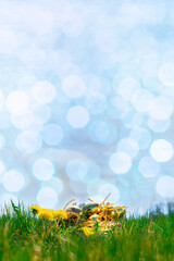 Easter bunny. Golden egg with yellow spring flowers in celebration basket on green grass...