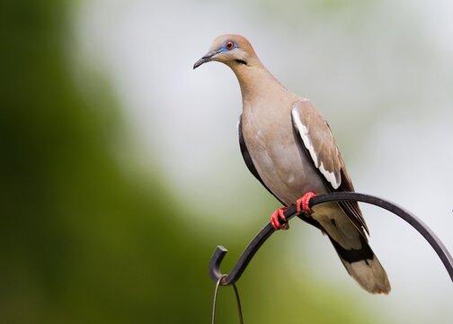 White-winged Dove on backyard feeder