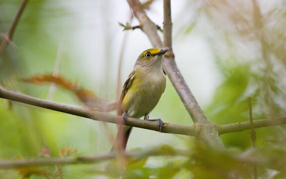 White-eyed Vireo shot through branches while perched in Louisiana forest