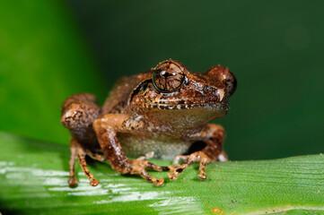Wall Murals Frog Shrub frog (Pseudophilautus, Rhacophoridae) in Sri Lanka // Ruderfrosch in Sri Lanka