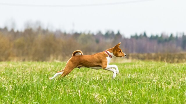 Basenji puppy running in the field on lure coursing competition