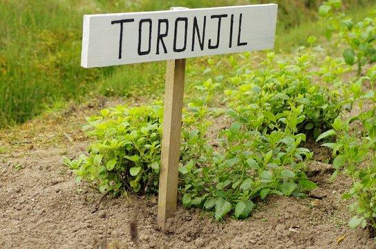 Spanish language sign for toronjil(lemon mint) in Ecuador garden, South-America