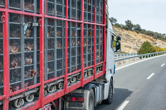 Truck with cages for transporting animals, loaded with chickens to the slaughterhouse.