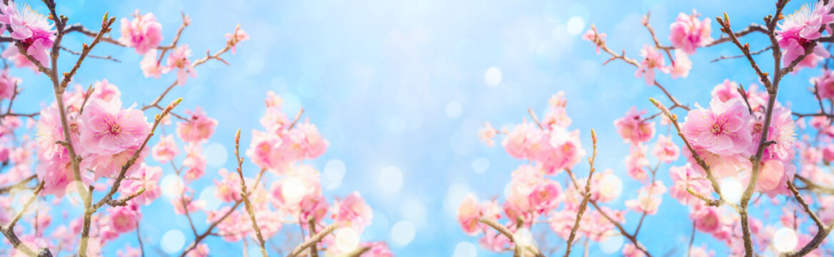 Beautiful cherry blossom flowers over blurred background. Spring season concept