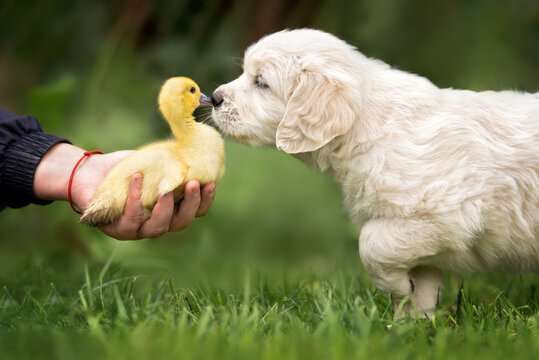 golden retriever puppy meeting a duckling outdoors