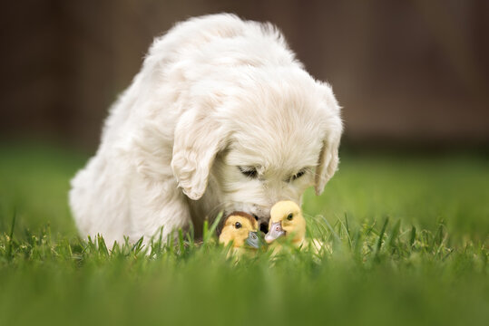 golden retriever puppy sniffing ducklings in the grass