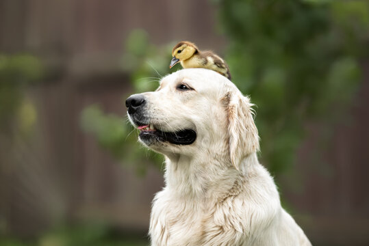 golden retriever dog posing with a duckling on her head