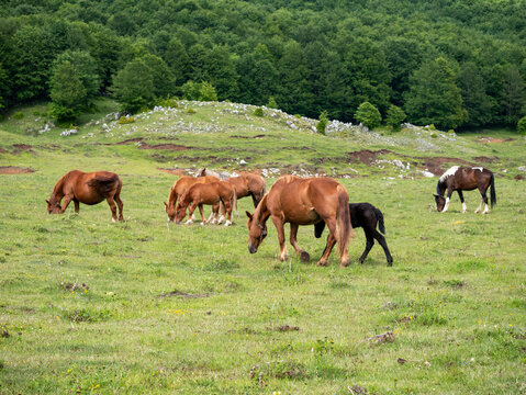 a herd of horses with foals graze in the green grass in Matese National Park, Campania, Italy