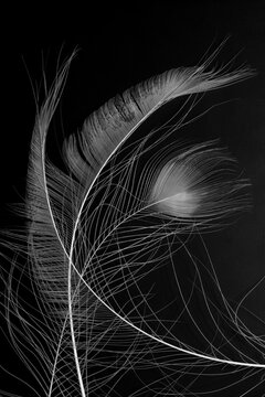 Fragments of three large crossed white avian feathers, close up, isolated on a black background. Abstract vertical image.