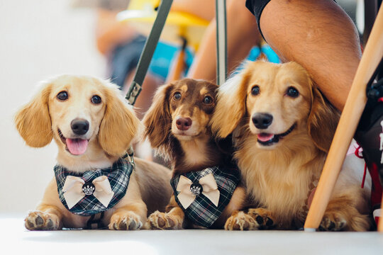 Three happy dogs with a bow are sitting next to each other next to the owner's leg in a cafe