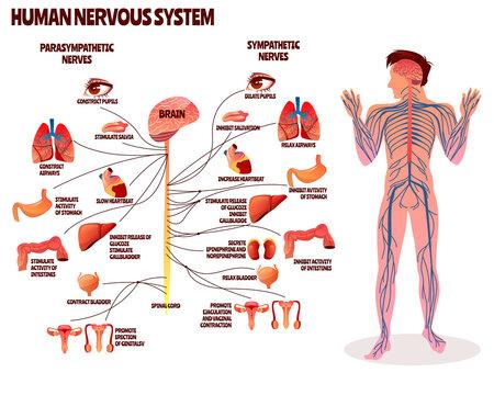 Human nervous system vector illustration