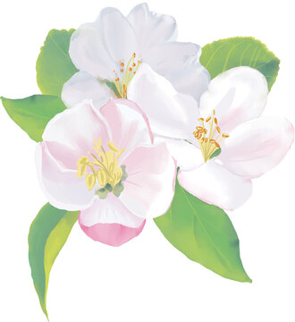 Spring Apple spring flowers bloom. Watercolor illustration. High resolution. 300 dpi