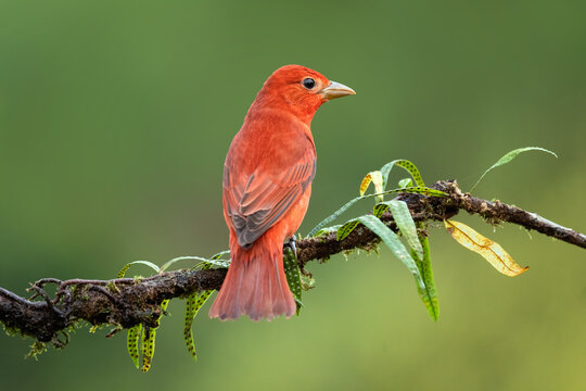 Gorgeous red colored male of Summer Tanager. Green background of rain forest. A common yet beautiful small bird of Central America. Curious and cautious. Sitting quietly on moss covered branch.