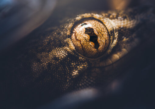 Closeup of a Gecko