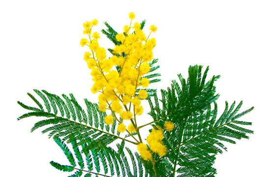 Bush of yellow spring flowers mimosa isolated on white background.