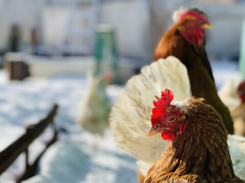 Close up of chickens walking in courtyard in wintertime.
