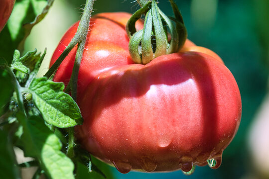 Red pink ripe beefsteak tomato growing on the hairy vines in the summer garden in the sunlight, with raindrops on, self sufficiency conce