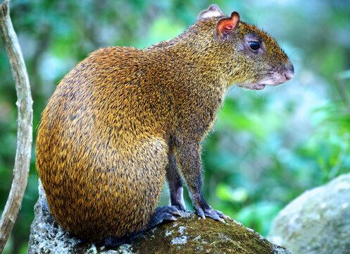 Agouti ponctué (Dasyprocta punctata) Costa Rica