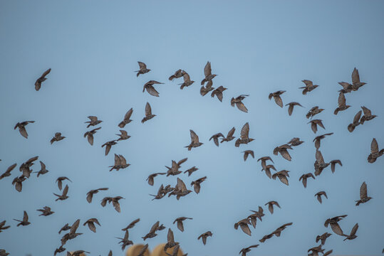 a pack of wild starlings in flight over polem