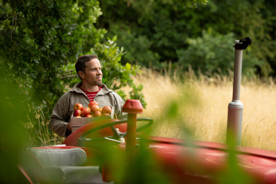 Happy man harvesting fresh red apples at tractor in orchard
