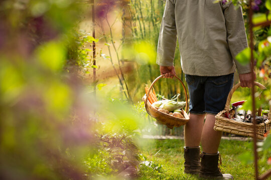 Man with baskets harvesting fresh vegetables in garden
