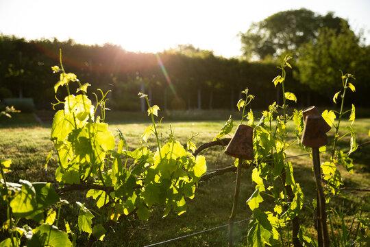 Green vegetable plant vines growing in sunny idyllic garden