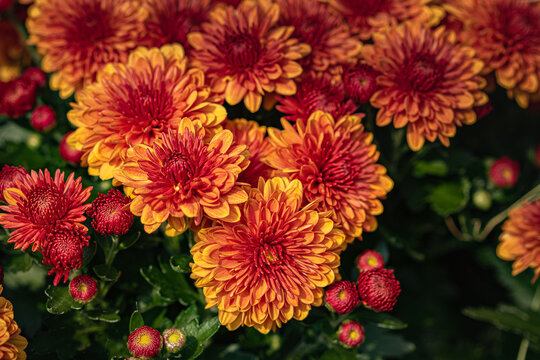 red and yellow mums in the fall