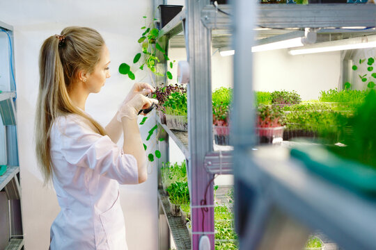 Woman spraying microgreens with water. A small micro-green farm.