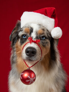 Portrait of an Australian Shepherd dog wearing a Santa hat and Christmas bauble
