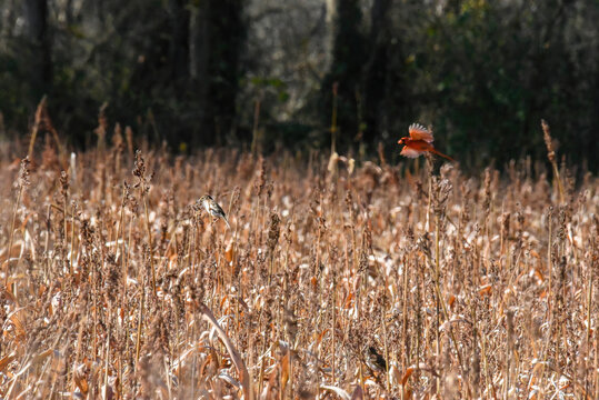 birds in a sorghum field