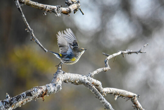 yellow-rumped warbler taking off a branch