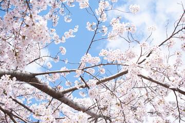 만개한 벚꽃나무 Fotobehang