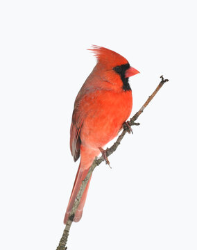 male red cardinal standing on tree branch in snow