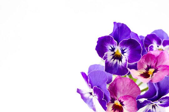 白背景にピンクと紫のパンジーの花