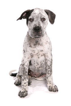 staffordshire bull terrier cross american bulldog puppy