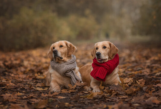 autumn photography with 2  golden retriever dogs sitting in the leaves with  scarfs. Dog in leaves. Autumn dog photography.