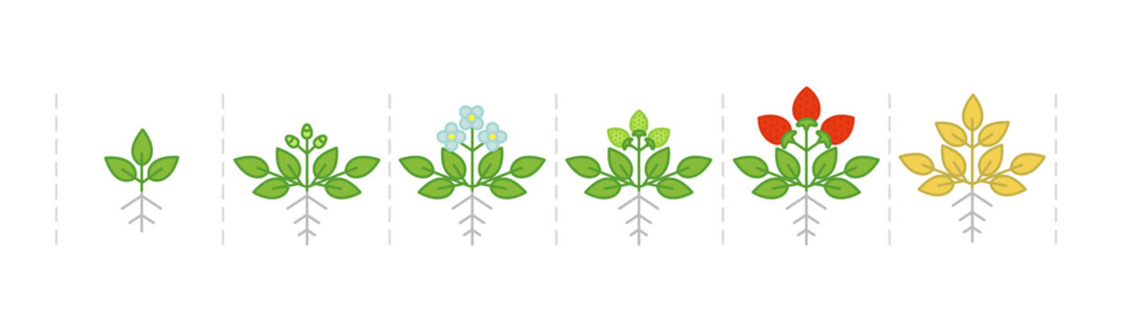 Strawberry plant growth stages infographic. Harvest animation progression schema. Fragaria development life cycle. Ripening period vector.