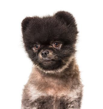 Portrait of a Brown and Black Spitz looking away, isolated